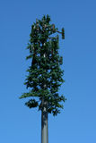 Pine tree cell tower. Against blue sky Stock Photo