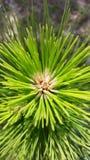 Pine tree center Royalty Free Stock Photos