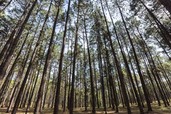 The pine tree 4 Royalty Free Stock Photography