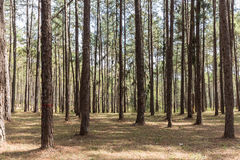 The pine tree 5 Royalty Free Stock Photo
