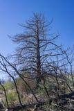 Pine Tree Charred Stock Image