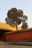 A pine tree in Chinese courtyard Stock Image