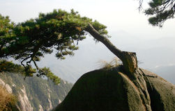 Pine tree on Chinese mountain. Pine tree growing out of a fissure in the rock on a Chinese mountain Stock Image