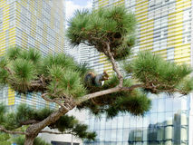Pine tree in the city Royalty Free Stock Image