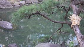 Pine tree at the city park. In sunny day stock video