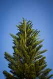 Pine tree with clear blue sky Royalty Free Stock Images