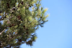 Tree and clear sky Stock Photography
