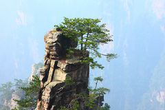 Pine tree on cliff Stock Image