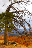Pine tree on a cliff in Bryce Canyon. Stock Images