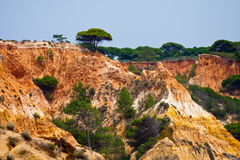 Pine tree on a cliff, Portugal. Royalty Free Stock Image