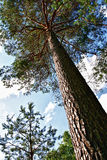 Pine tree close up. Over blue sky Stock Photo