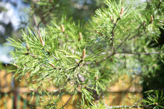 Pine tree Stock Image