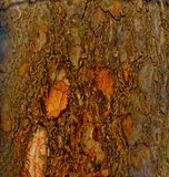 Pine tree. Close-up of the bark of an old pine Royalty Free Stock Images