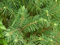 Pine tree. Close up of a beautiful smelling green pine Stock Photo