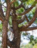 Pine tree . Stock Photography