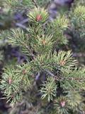 Pine tree close up stock photography