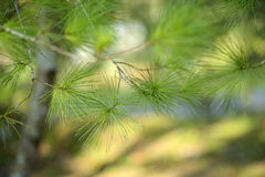 Pine tree close up Royalty Free Stock Photography
