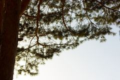 Pine tree close up royalty free stock images