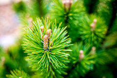 Pine tree close. Up vivid green Royalty Free Stock Photography