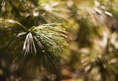 Pine tree closeup Stock Photo