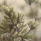 Pine tree closeup with frost - aged photo Stock Image
