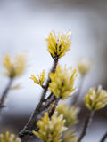 Pine tree closeup with frost Royalty Free Stock Photography