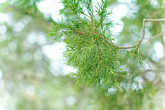 Pine tree closeup Royalty Free Stock Photography