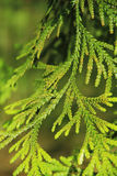 Pine tree closeup. Green prickly branches of a fur-tree or pine Stock Photos