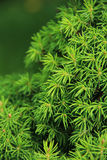 Pine tree closeup. Green prickly branches of a fur-tree or pine Stock Photography