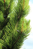 Pine tree closeup. Green prickly branches of a fur-tree or pine Royalty Free Stock Photos