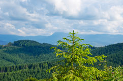 Pine tree closeup over mountain Stock Photography