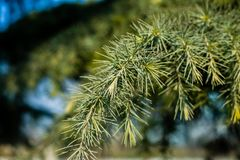 The pine tree Royalty Free Stock Photos
