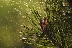 Pine tree closeup with raindrops. Spring time. It is raining Stock Image