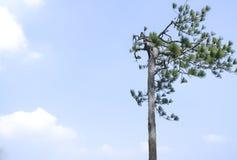 Pine tree with cloud Stock Photo