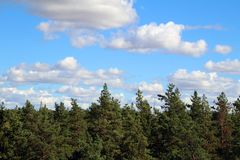 Pine tree and cloudy sky. Pine tree in summer against blue sky and white clouds stock images