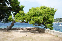 Pine tree on the coast of Adriatic sea Stock Photography