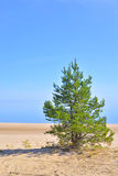 Pine tree on the coast of Ladoga lake. Royalty Free Stock Photo