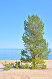 Pine tree on the coast of Ladoga lake. Royalty Free Stock Images