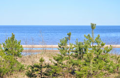 Pine tree on the coast of Ladoga lake. Stock Photography