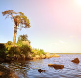 Pine tree at the coast of the Protective Bay on the Gulf of Finland. Stock Photo