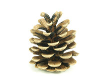 Pine tree cone Stock Photos