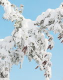 Pine tree with cone Stock Images