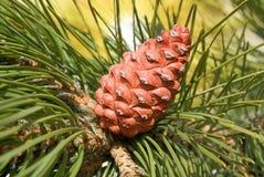 Pine tree cone Royalty Free Stock Photo