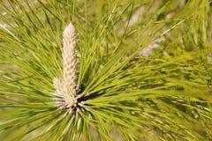 Pine Tree Cone Bud Stock Photo