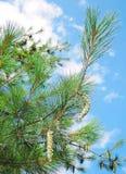 Pine tree with cone Stock Photos
