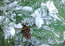 Pine tree with cone covered in snow. Fluffy pine tree with cone all snowy stock image