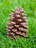 Pine Tree Cone On Green Grass Stock Photo