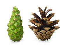 Pine tree cone Royalty Free Stock Images