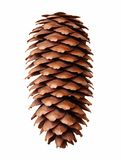 Pine tree cone isolated Stock Photos