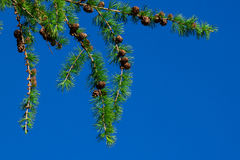 Pine tree and cones Royalty Free Stock Image